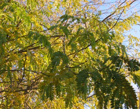 11-02-07_Our_backyard_locust_tree