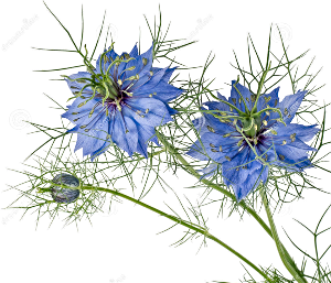 Blue Flowers Love in a mist